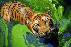 孟加拉老虎的画象 免版税库存照片