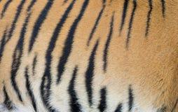 孟加拉老虎皮肤 免版税库存照片