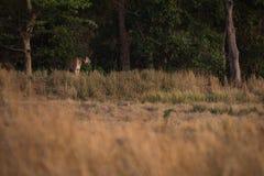孟加拉老虎看在从treeline的草甸 库存图片