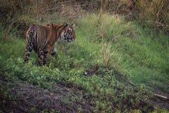 孟加拉老虎神色从象草的小山 免版税库存照片