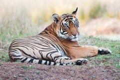 孟加拉老虎说谎懒惰在草-国家公园ranthambhore在印度 免版税图库摄影