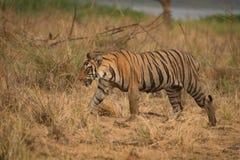 孟加拉老虎走右到左在干燥草原 免版税库存照片