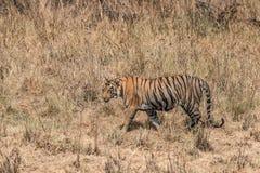 孟加拉老虎走右到左在干草 免版税库存图片