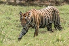 孟加拉老虎走右到左在象草的河岸 库存图片