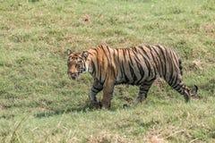 孟加拉老虎走右到左在晴朗的草甸 免版税库存照片