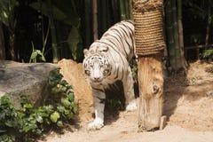 孟加拉老虎走 免版税库存图片