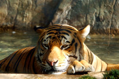 孟加拉老虎 免版税库存照片