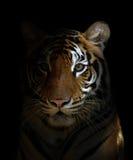 孟加拉老虎头 图库摄影