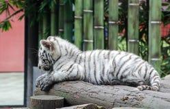 孟加拉老虎崽 免版税库存图片