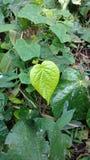 孟加拉蒋酱之叶叶子,吹笛者蒋酱之叶 它为减重使用 图库摄影