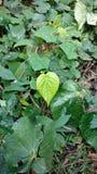 孟加拉蒋酱之叶叶子,吹笛者蒋酱之叶 它为减重使用 库存照片