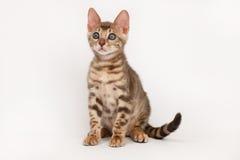 孟加拉蓝色小猫 免版税库存图片
