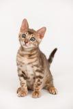 孟加拉蓝色小猫 库存图片