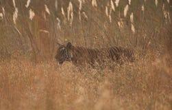 孟加拉通配草的老虎 免版税库存图片