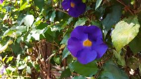孟加拉clockvine,美丽的紫色花 这些植物在南的亚洲传播/东南部和中国大陆 免版税库存照片