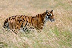 孟加拉panthera老虎底格里斯河 免版税库存图片