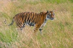 孟加拉panthera老虎底格里斯河 免版税库存照片