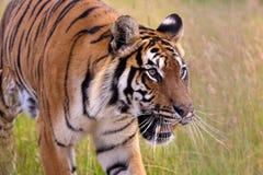 孟加拉panthera老虎底格里斯河 库存照片