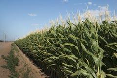 孟山都GMO麦地 免版税库存图片
