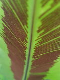 孢子蕨叶子 图库摄影