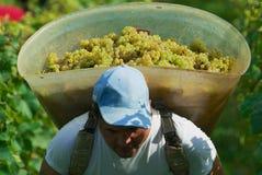 季节工在一个葡萄园运载被收获的葡萄在Fechy,瑞士 免版税图库摄影