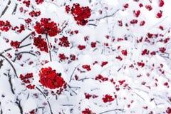 季节性冬天自然背景用在雪下的红色花楸浆果 免版税库存图片