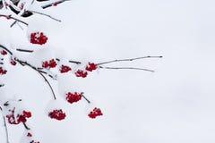 季节性冬天自然背景用在雪下的红色花楸浆果 库存图片