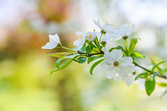 季节性春天开花树背景 免版税库存图片