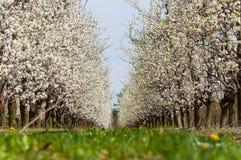 季节性春天白色李子花开花 李子果树园开花在波兰 免版税图库摄影