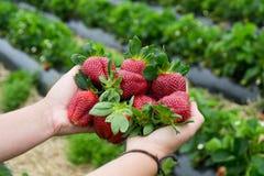 季节性果子/收获概念大红色水多的有机草莓 免版税库存照片