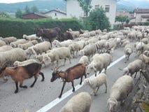 季节性牲畜移动或者绵羊群旅途、山羊或者母牛和其他动物对最佳的牧场地,在这种情况下mounta的 图库摄影