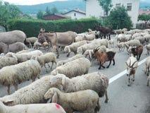 季节性牲畜移动或者绵羊群旅途、山羊或者母牛和其他动物对最佳的牧场地,在这种情况下mounta的 免版税图库摄影