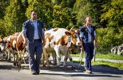 季节性牲畜移动事件在Charmey 库存图片