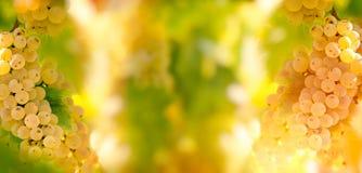 季节性,秋天果子-葡萄蕾斯霖在葡萄树的葡萄酒在葡萄园里 库存图片