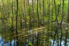 季节性洪水在被反射的绿色森林里 免版税库存照片