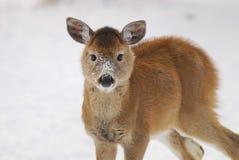 季节晚期的小鹿 免版税库存图片