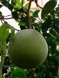 季节柠檬 免版税图库摄影
