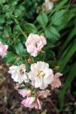 季节的玫瑰的末端美丽 库存图片