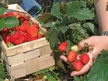 季节草莓 免版税库存照片