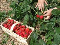 季节草莓 免版税库存图片