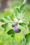 季节紫色无花果 库存图片
