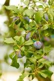 季节紫色李子 库存图片
