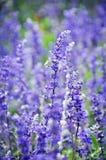季节紫色花 免版税库存照片