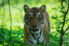 季风看见的母老虎,当森林是绿色地毯在Ranthambore老虎储备,印度 库存图片