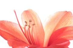 孤挺花粉红色 库存照片