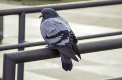 孤独和一只饥饿的鸽子 免版税图库摄影
