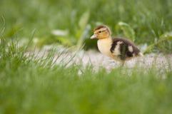 孤独小的鸭子 库存照片