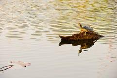 孤独的乌龟 免版税图库摄影