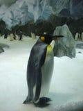 孤独的企鹅国王在动物园澳大利亚里 免版税库存图片