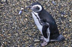 孤独的企鹅,小猎犬海峡,乌斯怀亚,阿根廷 免版税库存照片